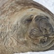 Portrait of a southern elephant seal which lies in the snow with — Stock Photo #54214899