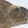 Portrait of a southern elephant seal with closed eyes — Stock Photo #54214903