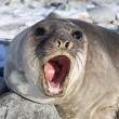 Portrait of a young southern elephant seal who growls — Stock Photo #54214909