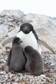 Female and two chicks Adelie penguin sitting in a nest on a summ — Stock Photo