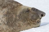 Portrait of a southern elephant seal with closed eyes — Stock Photo