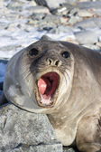 Portrait of a young southern elephant seal who growls — Stock Photo