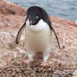 Adelie penguin which stands near the empty nest in colonies — Stock Photo #54297931