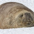 Southern elephant seal which lies in the snow with eyes closed — Stock Photo #54298735