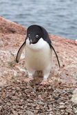 Adelie penguin which stands near the empty nest in colonies — Stock Photo