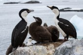 Blue-eyed  Antarctic cormorant family near nest  of  the Antarct — Stock Photo