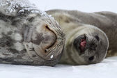 Female and pup Weddell seals that lie on the snow of the Antarct — Stock Photo