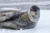 Large male leopard seal sea on an ice floe which raised his head — Stock Photo