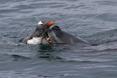 Leopard seal who grabs gentoo penguin — Stock Photo