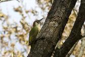 Male green woodpecker on a tree trunk autumn — Stock Photo