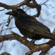 Carrion Crow which siit on a branch stone birch autumn — Stock Photo #58682723
