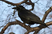 Carrion Crow which siit on a branch stone birch autumn — Stock Photo