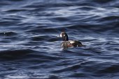 Male harlequin duck floating in the ocean sunny day — Stock Photo