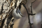 Nuthatch going to feed on the stone birch trunk in forest — Stock Photo