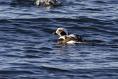 Male long-tailed ducks floating in the waters of the ocean — Stock Photo