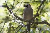 Black-headed or Caucasian  jay who sits on a branch — Stock Photo