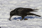 Carrion Crow that eats molluscs — Stock Photo