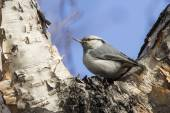 Nuthatch who sits in the fork of stone birch autumn — ストック写真