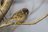 Tree Sparrow who sits in the fork of stone birch autumn — Stock Photo