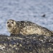 Harbor seal lying on a rock island Bering winter day — Stock Photo #71230487