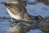 Rock sandpiper that feeds a strip casting winter day — Stock Photo