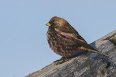 Rosy finch sitting on the roof of a winter day — Stock Photo