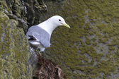 Black-legged kittiwake which sits on a rock in spring cloudy day — Stock Photo