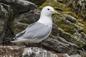 Black-legged kittiwake nest that sits on a cloudy spring day — Stock Photo