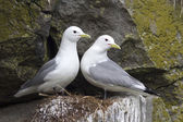 Pair of black-legged kittiwake sitting on a nest in the spring c — Stock Photo