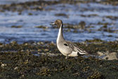 Pintail Male standing on the beach at low tide — Stock Photo