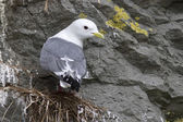 Red-legged kittiwake which sits on the nest head turned a cloudy — Stock Photo