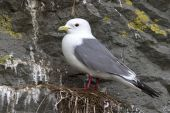 Red-legged kittiwake which stands on the nest overcast spring da — Stock Photo