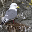 Red-legged kittiwake which sits on the nest overcast spring day — Stock Photo #72630013