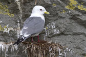 Red-legged kittiwake which sits on the nest overcast spring day — Stock Photo