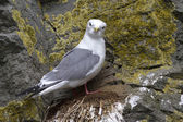 Red-legged kittiwake is sitting on a nest on a rock and looking  — Stock Photo