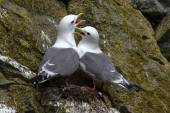 Red-legged kittiwake couple sitting in the nest and cry — Stock Photo