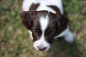 Very cute young liver and white working type english springer sp — Stock Photo