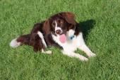 Fígado muito fofo e branco collie cruz springer spaniel cão de estimação — Fotografia Stock