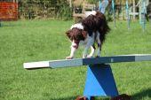 A very cute springer cross collie dog on agility equipment — Stock Photo