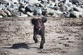 Zeer schattige jonge lever werken type cocker spaniel puppy uitgevoerd — Stockfoto