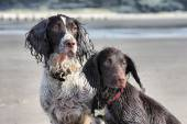 A working type english springer and cocker spaniels sat together — Stock Photo