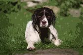 Cute liver and white working type english springer spaniel pet g — Stock Photo