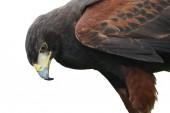 Fantastic brown hawk raptor — Stock Photo