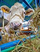Simmental stud bull in barn — Stock Photo