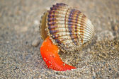 Rough cockle sea shell out of its armor — Stock Photo