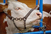 Simmental bull portrait in barn — Stock Photo