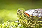Turtle head portrait in natue — Stock Photo