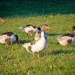A flock of geese on green meadow — Stock Photo #59582409