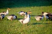 A flock of geese on green meadow — Stock Photo