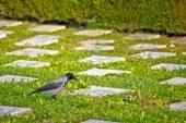 Crow on unmarked grave scene — Stock Photo